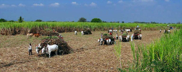 Zuckerrohr Ernte Venezuela